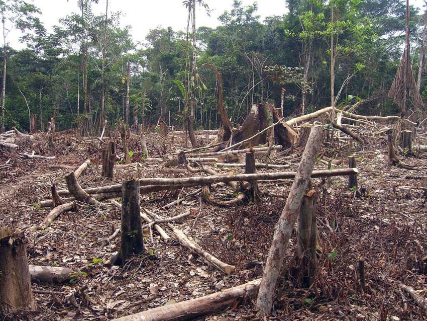 Köttindustrin orsakar skövling av regnskog