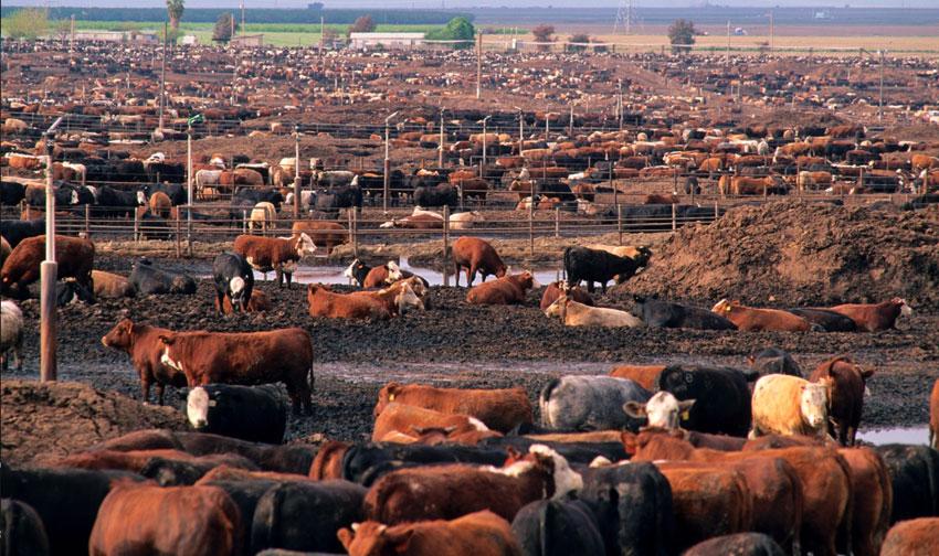 Köttindustrin orsakar  stor miljöförstöring med artutrotning, vattenförorening och döda havszoner
