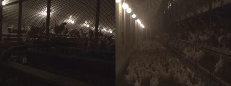 Frigående höns Sverige inom svensk äggproduktion
