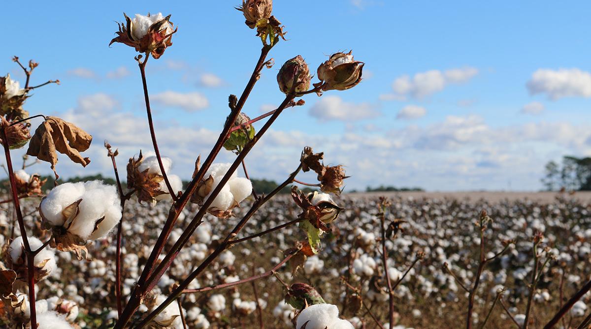 Bomullsfälten besprutades med arsenik som idag används för att odla ris