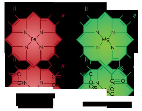 Klorofyll vs hemoglobin